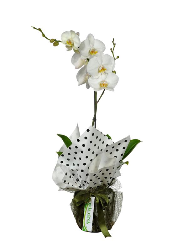 Asil Beyaz Orkide