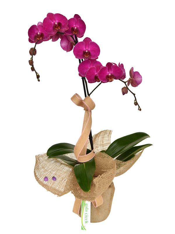 Orkide Güzeli