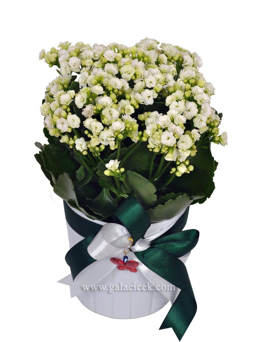 Kalenşo Saksı Çiçeği