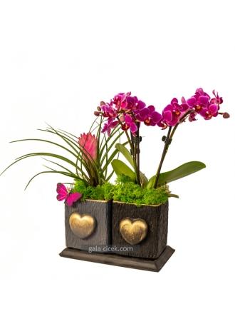 Bodur Orkide ve Tillendisya