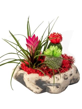 Tillendisya Bitkisi ve kaktüsler