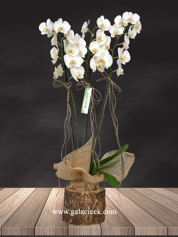 Kütükte İthal Orkide