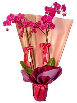 Fuşya ikili orkide