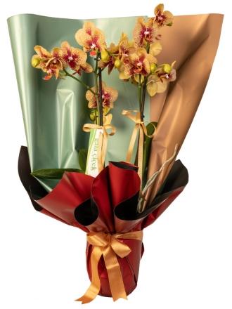 Charmer  Çift Dallı Orkide